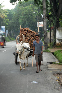 Bullock carts used to transport various good. Picture taken near Colombo, Sri Lanka.