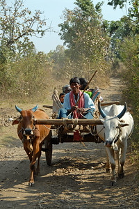 Villagers often use bullock carts to ferry things as well as use it as a means of transportation for themself and family. Nagpur, Maharasthra, MH, India