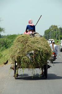 Various modes of transportation. This lady is riding on top of cut grass and weeds loaded on a bullock cart. Near Nashik, Maharashtra, India.