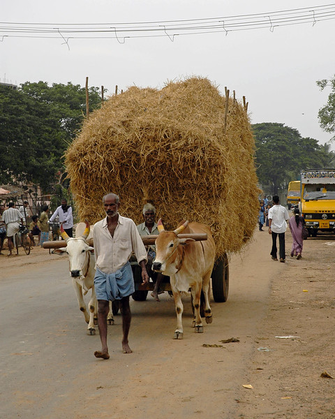 Common mode of transportation in use in rural India. Seen in this image is a bullock cart transporting hay.