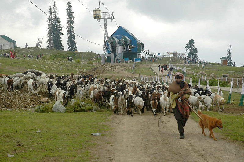 Shepherd taking his flock of goats & sheep for grazing in Gulmohar, Kashmir, J&K, India