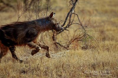 Brown Hyena, Makweti. SA