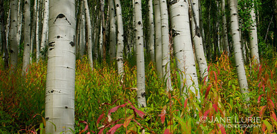 Aspen Grove and Red
