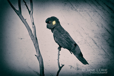 Black Cockatoo, Blue Mountains