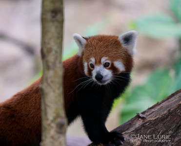Red Panda, Taronga Zoo