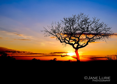 Sunset and Acacia, Botswana