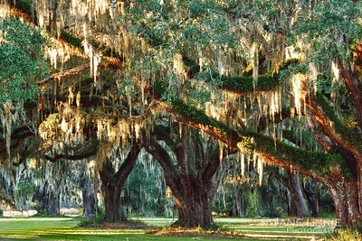 Live Oaks and Spanish Moss.