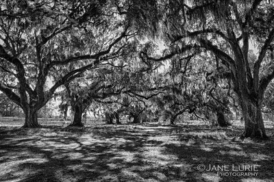 Live Oaks and Shadows, Ace Basin, SC