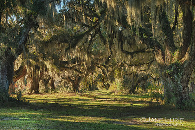 Live Oaks and Spanish Moss paint a serene scene at the Ace Basin.