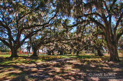 Live Oaks stretch across the path to the nature preserve.  Ace Basin, SC