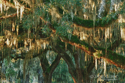 Gorgeous old growth Live Oaks line the plantation. The early morning light catching the Spanish Moss.