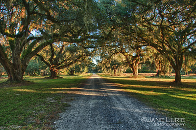 Early morning light falls on the trees that line the old road leading to the plantation.  Ace Basin, SC