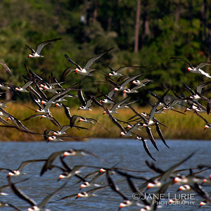 Skimmers in Flight, Kiawah Island. (Square).jpg