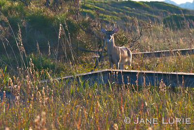 Buck in the Dunes. Kiawah Island, SC
