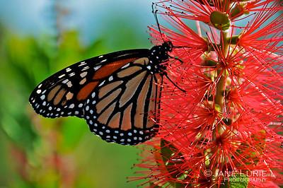 Butterfly and Bottlebrush, Kiawah