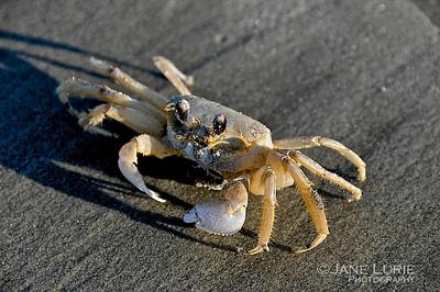 Ghost Crab, Kiawah Island, SC