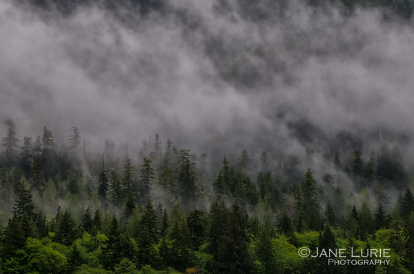 Morning Fog and Trees, Olympic National Park