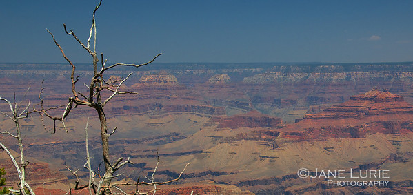 South Rim Tree, Grand Canyon, AZ