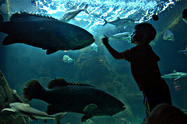 04 Jun 2007, Honolulu, Oahu, Hawaii, USA --- Logan Snow, 4, of Honolulu, watches giant groupers swim at a tank in the Waikiki Aquarium in Honolulu, Hawaii, June 3, 2007. REUTERS/Lucy Pemoni  (UNITED STATES) --- Image by © LUCY PEMONI/X01574/Reuters/Corbis