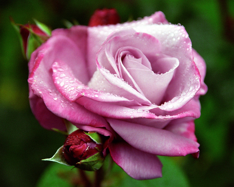 Pink Rose with Dew 3