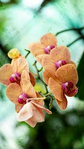 Orange Orchid 1