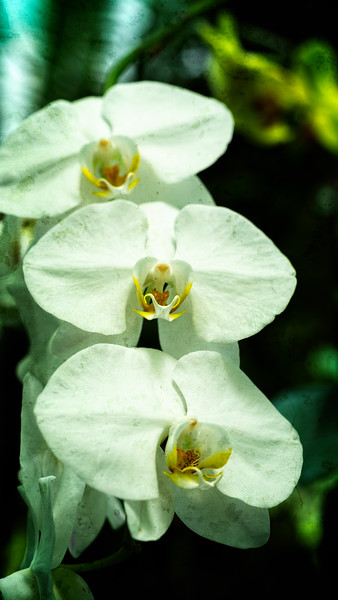 Borneo White Orchid
