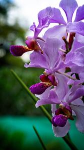Borneo Orchid 3
