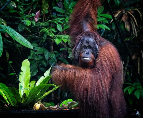 Male Orangutan 1