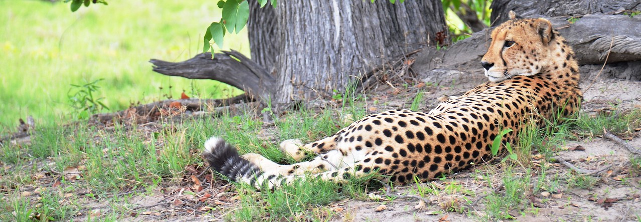 Relaxing Cheetah