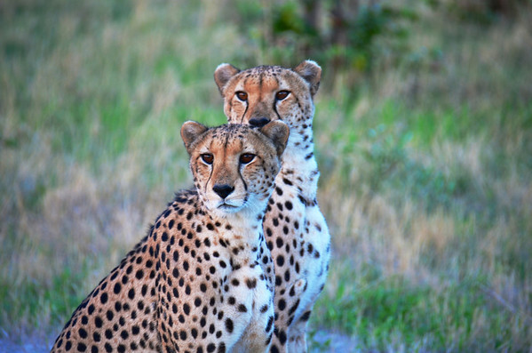 Brother Cheetahs Double