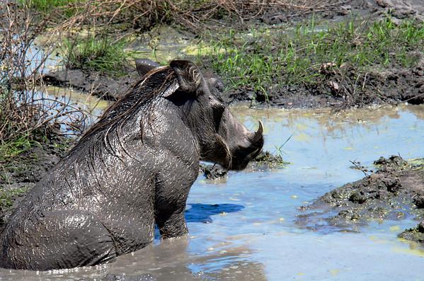 Sulking Muddy Warthog