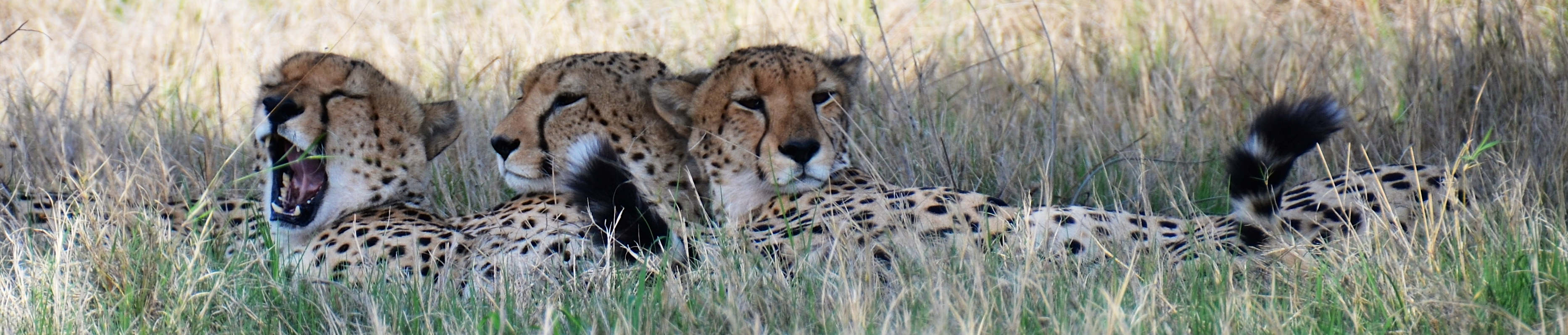 Cheetahs with 3 Expressions