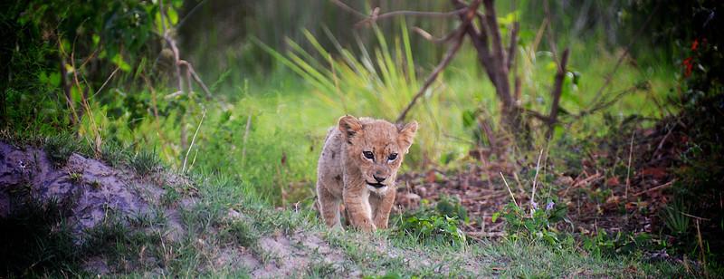 Baby Lion Walk