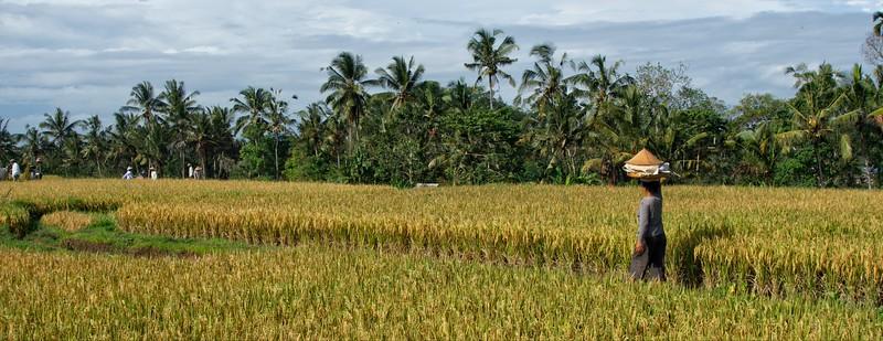 Campuhan Rice Terraces
