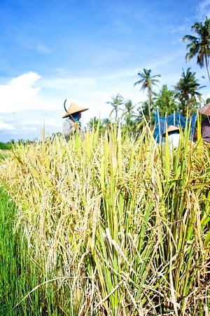 Ubud Rice Harvesting 2