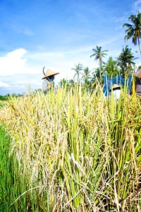 Ubud Rice Harvesting 2