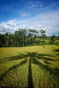 Ubud Palm Tree Shadow