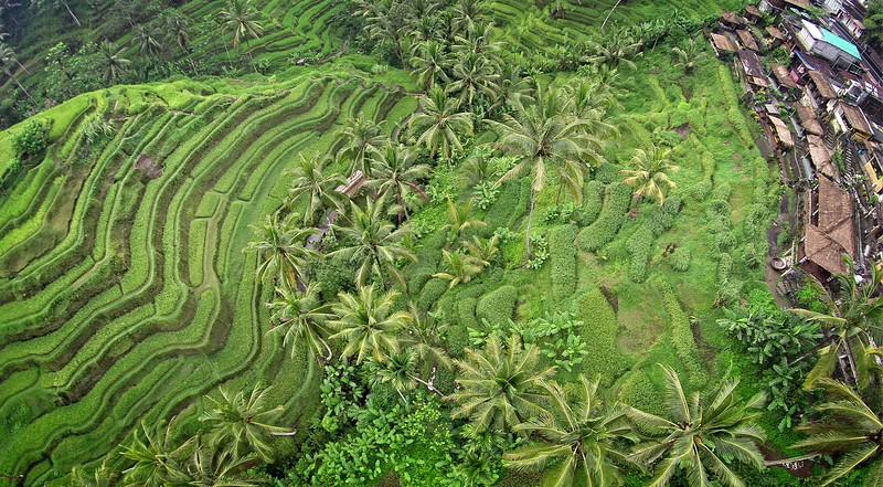 Tegalalang Rice Terraces 3