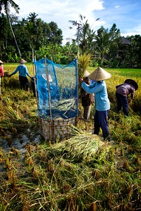 Ubud Rice Harvesting