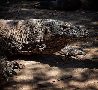 Komodo Dragon 1
