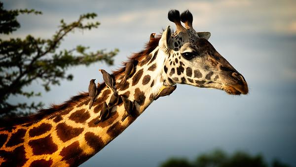 Giraffe Groomers