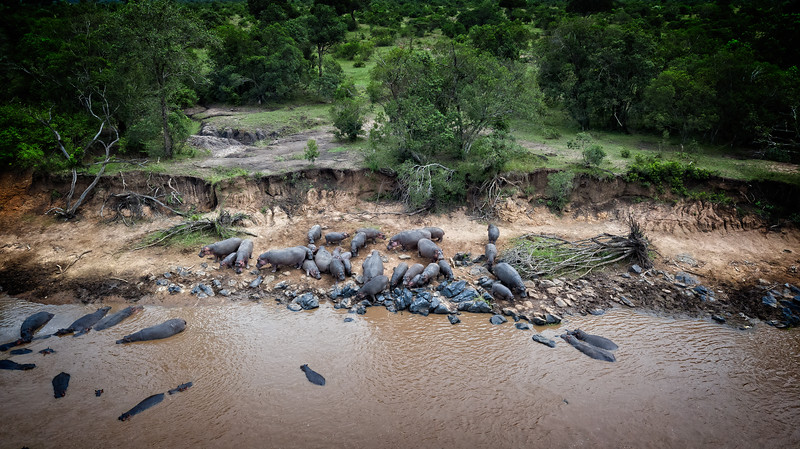 Hippos From Above
