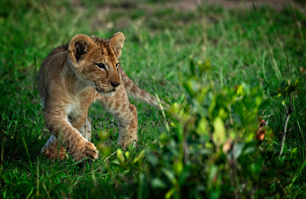 Lion Cub Walking