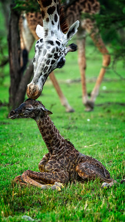 5 Min Old Giraffe 1
