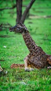 5 Min Old Giraffe