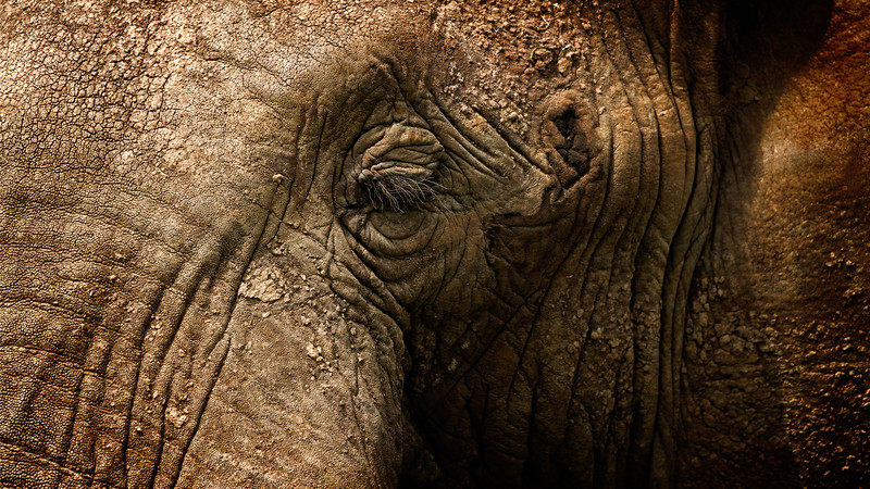 Elephant Eye 1