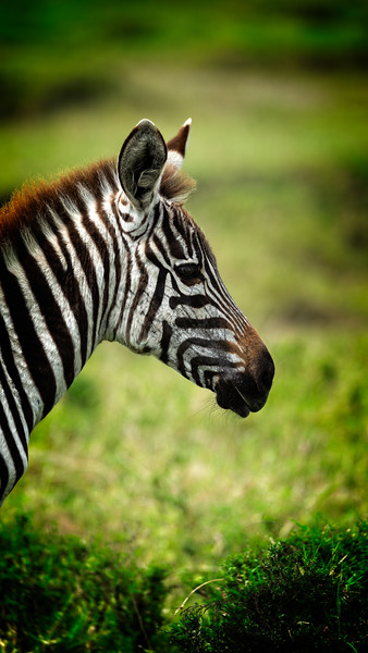 Juvenile Zebra Profile