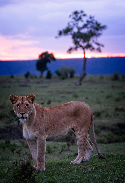 Lioness Stance 2
