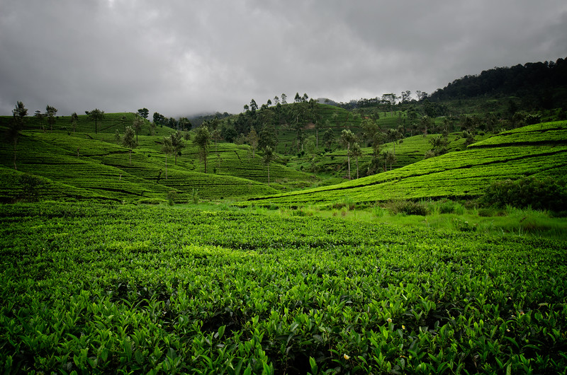 Tea Trails Ground View