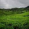 Tea Trails Ground View
